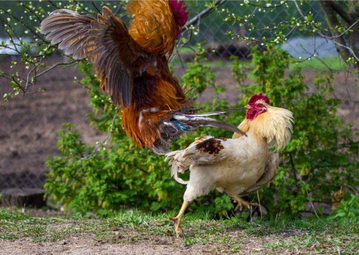 Bandar Judi Sabung Ayam Deposit 50 Ribu