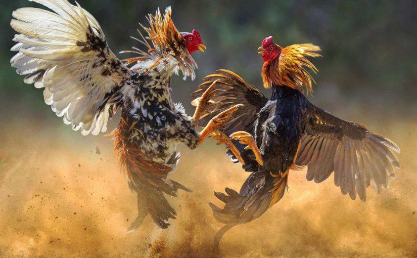 Judi Sabung Ayam Online
